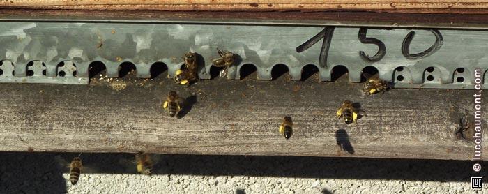 Abeilles avec pollen, à l'entrée de la ruche