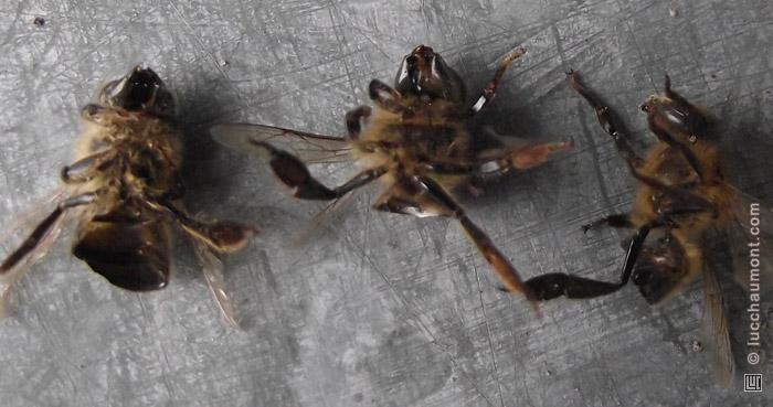 Corps d'abeilles eventrées