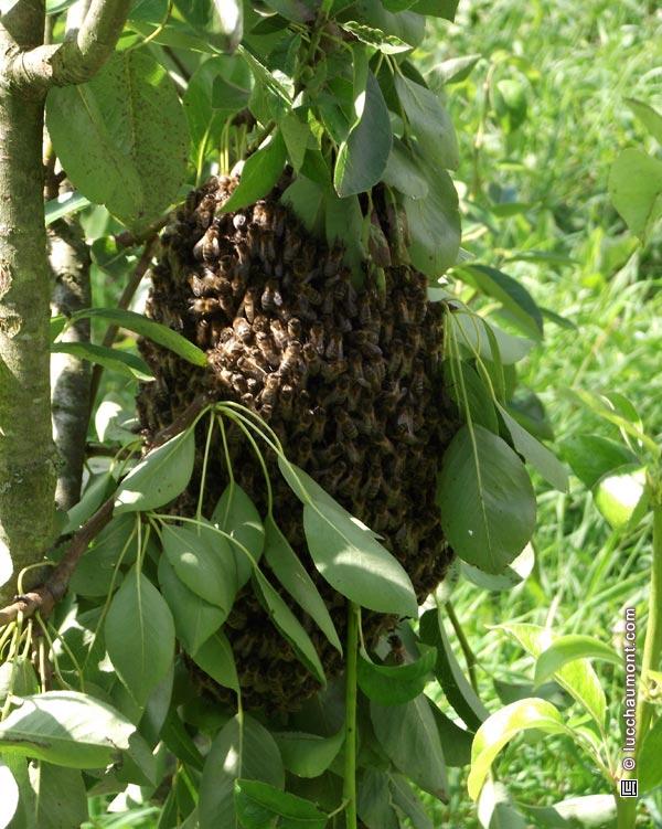 essaim d'abeilles sur branche